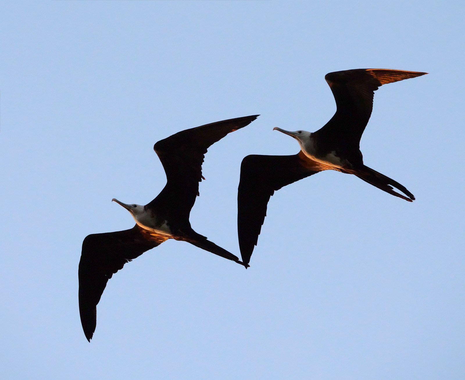 Magnificent Frigatebirds at Sunset