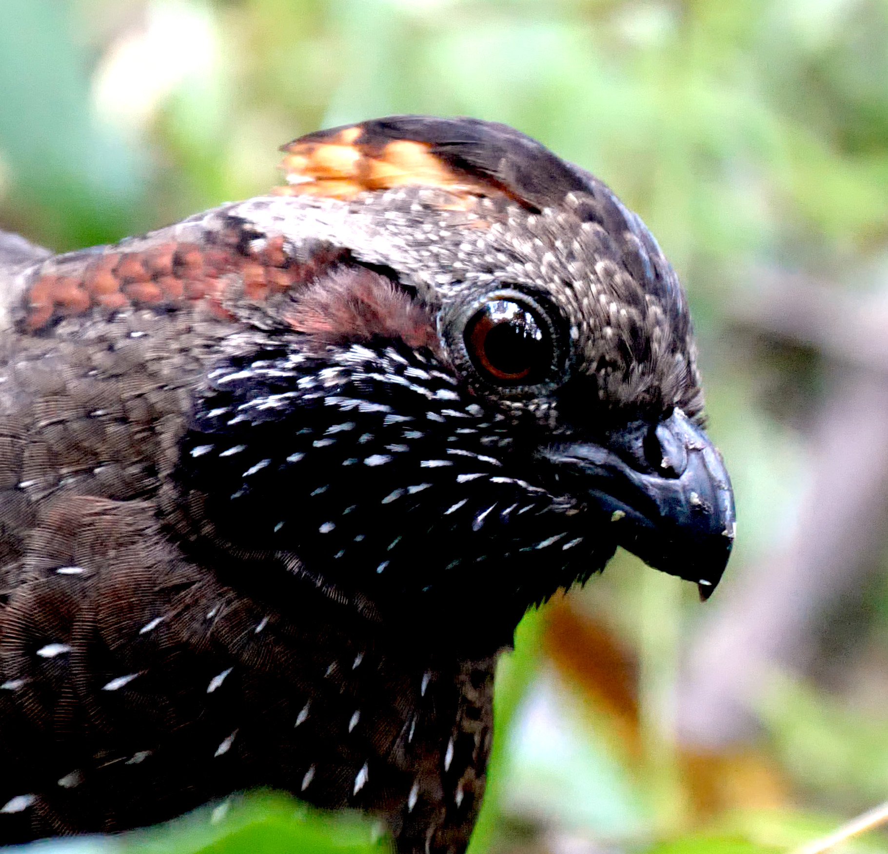 Spotted Wood-Quail