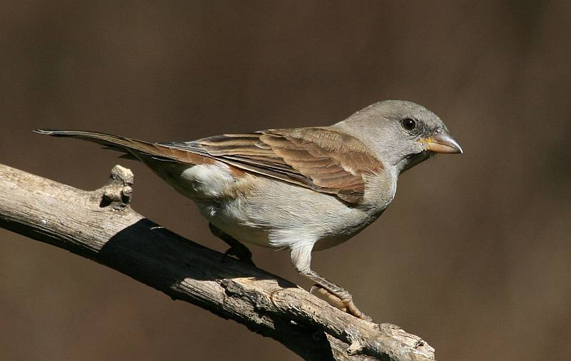 Southern Gray-headed Sparrow