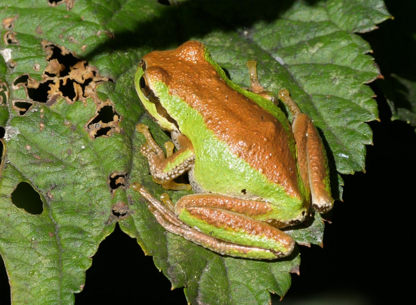 Copper and Green Pacific Tree Frog