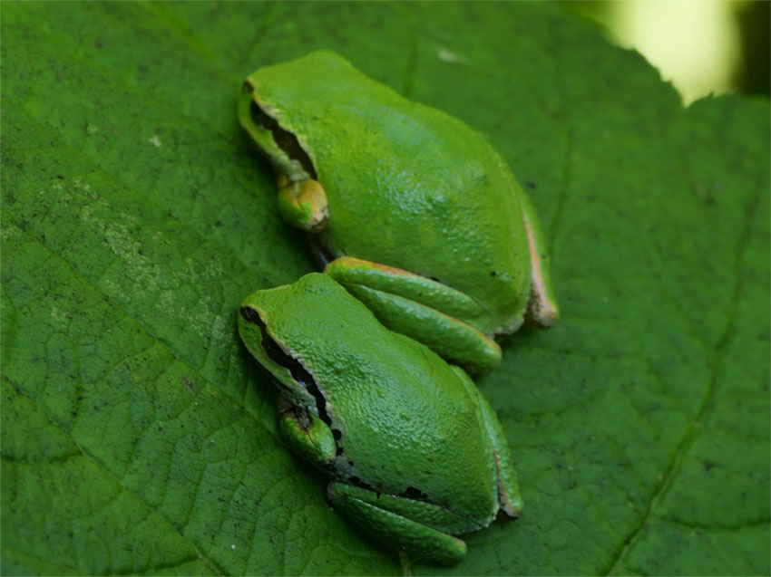 Green variation of Pacific Tree Frog
