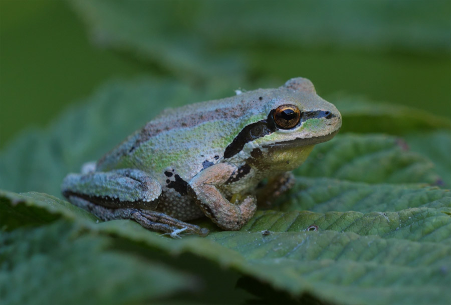 Hint of green on Pacific Tree Frog